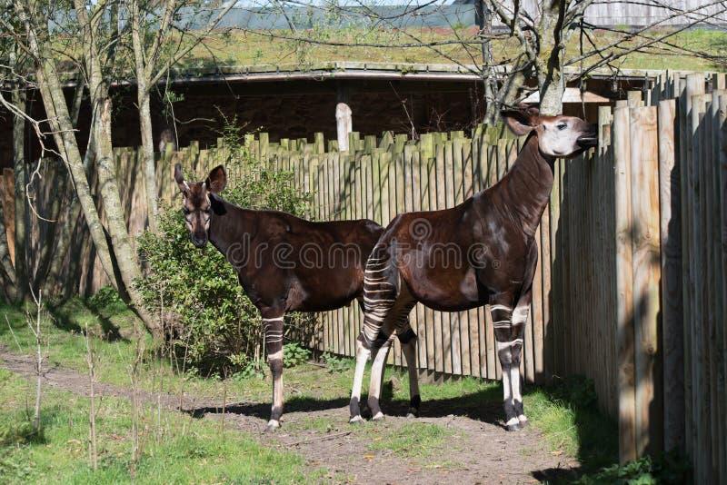 Okapi Okapia johnstoni an Cheser-Zoo, Cheshire lizenzfreies stockbild