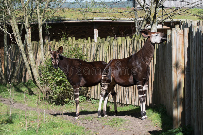 Okapi Okapia johnstoni at Cheser Zoo, Cheshire. Chester Zoo is a zoological garden at Upton by Chester, in Cheshire, England. Chester Zoo was opened in 1931 by royalty free stock image