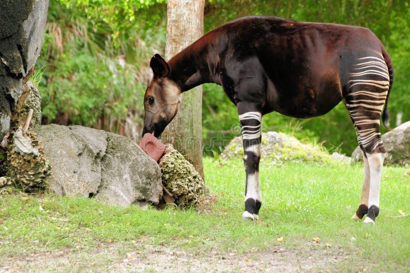 Comer do Okapi fotos de stock