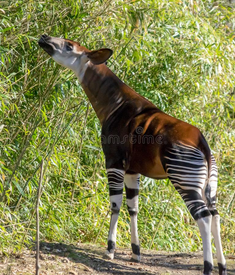 Okapi snack at Bronx zoo stock photos