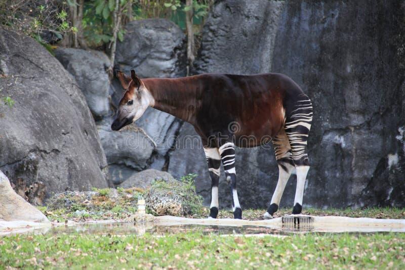 Okapi sur l'herbe près de la roche image stock