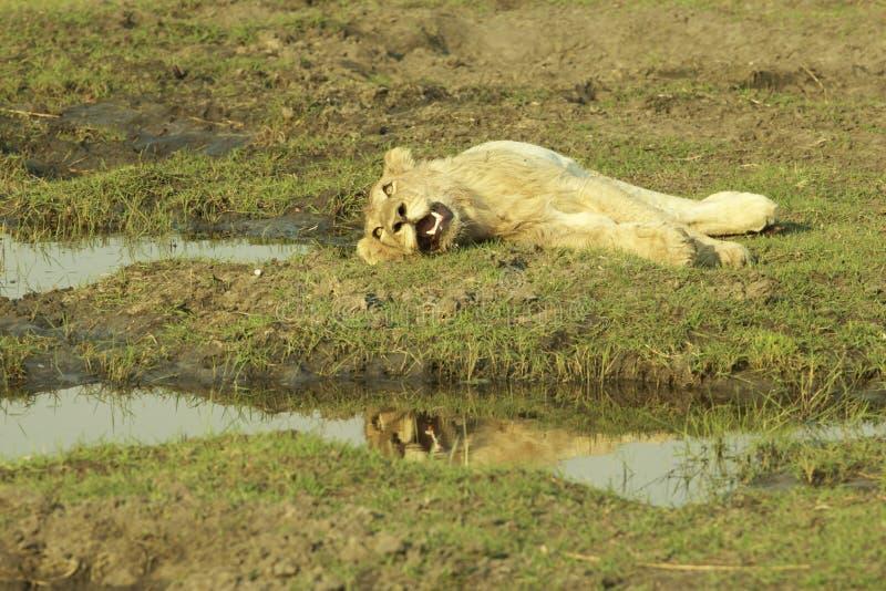 Okavango του δέλτα Μποτσουάνα, Αφρική στοκ εικόνα με δικαίωμα ελεύθερης χρήσης