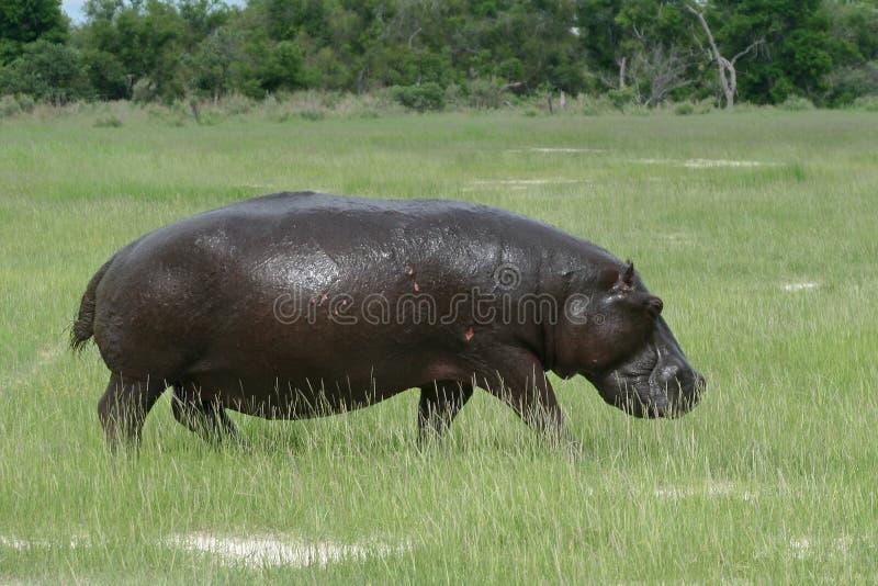 okavango земли hippopotamus Ботсваны стоковое фото rf