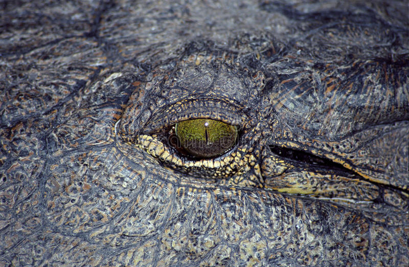 okavango de delta de crocodile du Botswana image libre de droits