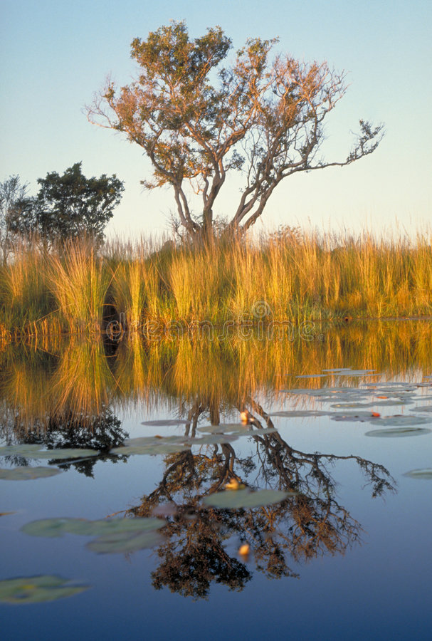 Okavango Delta reflection royalty free stock photo