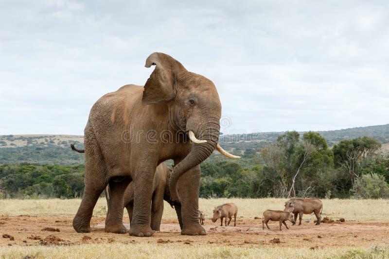 Okayhalt, der Fotos des afrikanischen Bush-Elefanten macht stockbilder