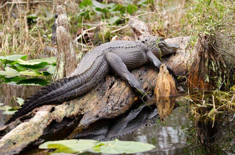 Okefenokee bagna byka aligatora Wygrzewać się obraz royalty free