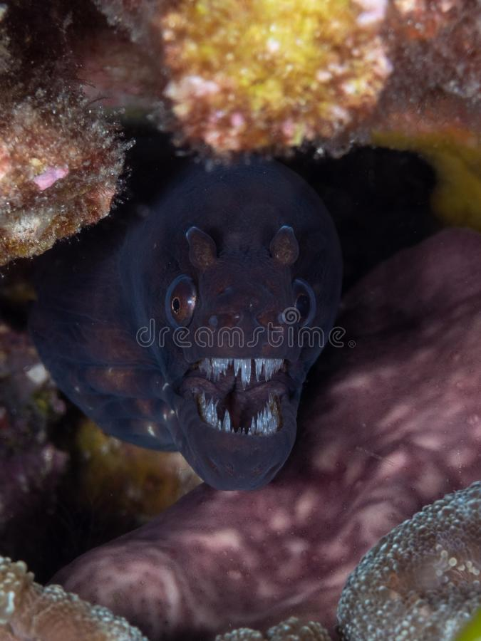 Okinawan snake moray, Scuticaria okinawae. Scuba diving in North Sulawesi, Indonesia. Lots of teeth and marked horn-like nostrils above the eyes. Pretty sure royalty free stock photos
