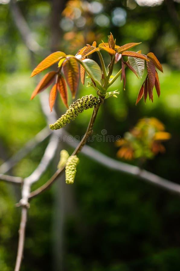 Okkernoot mannelijke bloem stock fotografie
