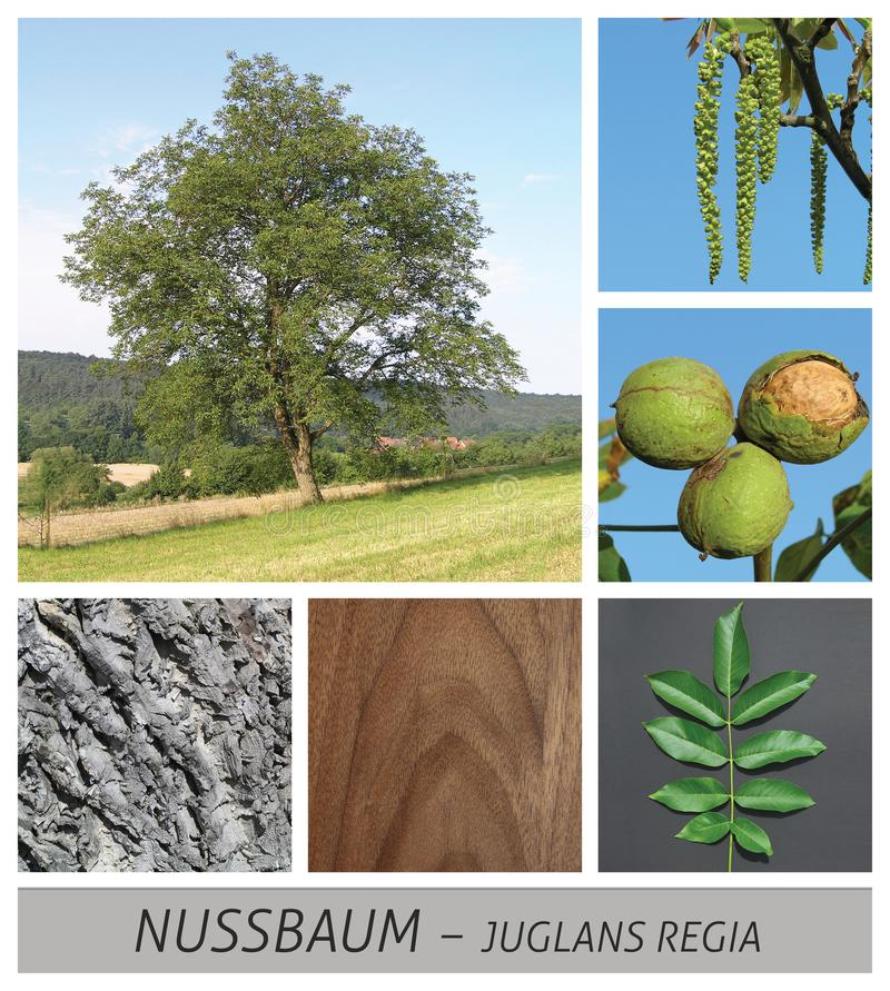 Okkernoot, noot, boom, okkernoten, het groeien, bomen, vruchten, fruit, hout, dark, juglans, stock fotografie