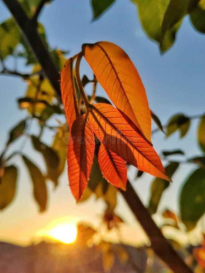 Okkernootbladeren bij zonsondergang stock fotografie