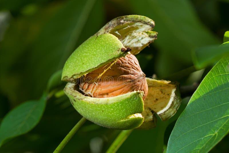 Okkernootboom stock afbeeldingen