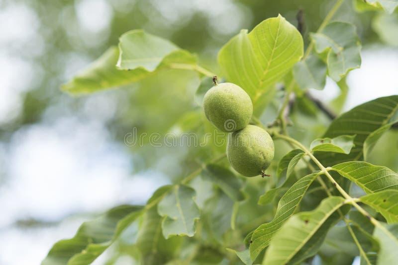 Okkernootnoten in groene schil op boom op natuurlijke achtergrond stock foto's
