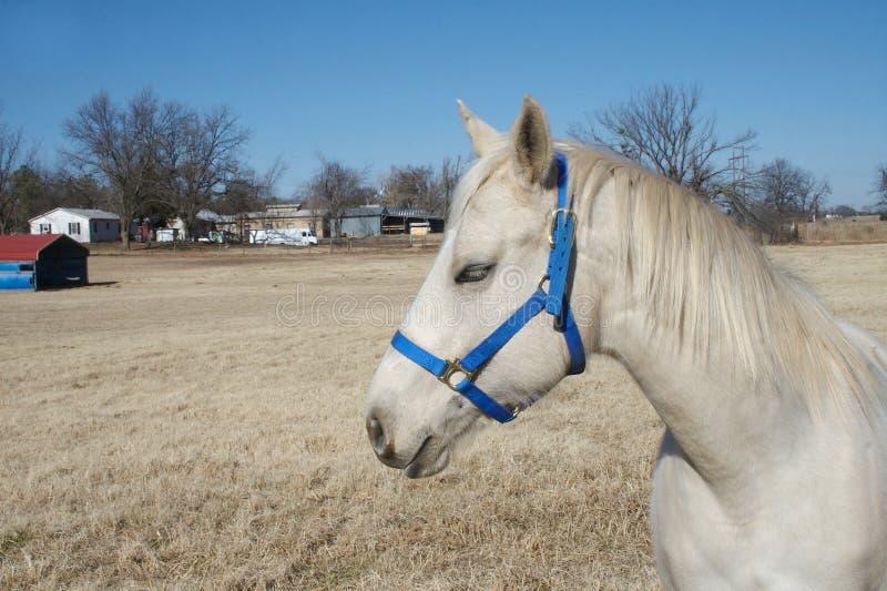 Oklahoma-Araber-Pferd Stockbild