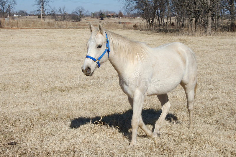 Download Oklahoma Arabian Horse stock image. Image of pasture, domestic - 7605401