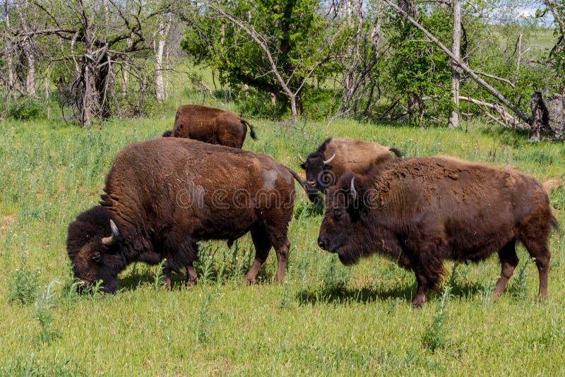 Oklahoma bizon lub Amerykański żubr, obraz royalty free
