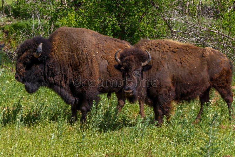 Oklahoma bizon lub Amerykański żubr, fotografia stock