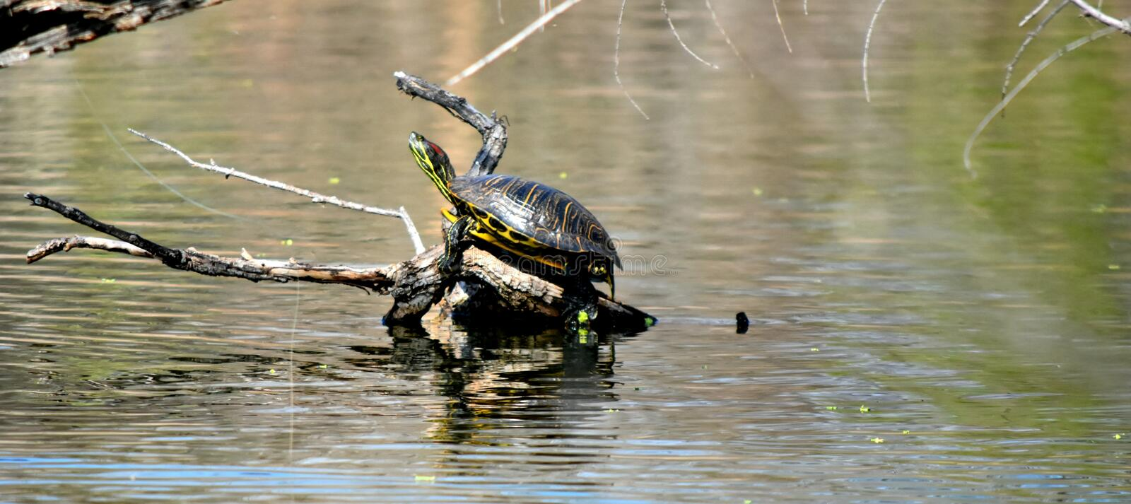 Turtle sunning on a log in a pond in Martin Park. stock photo