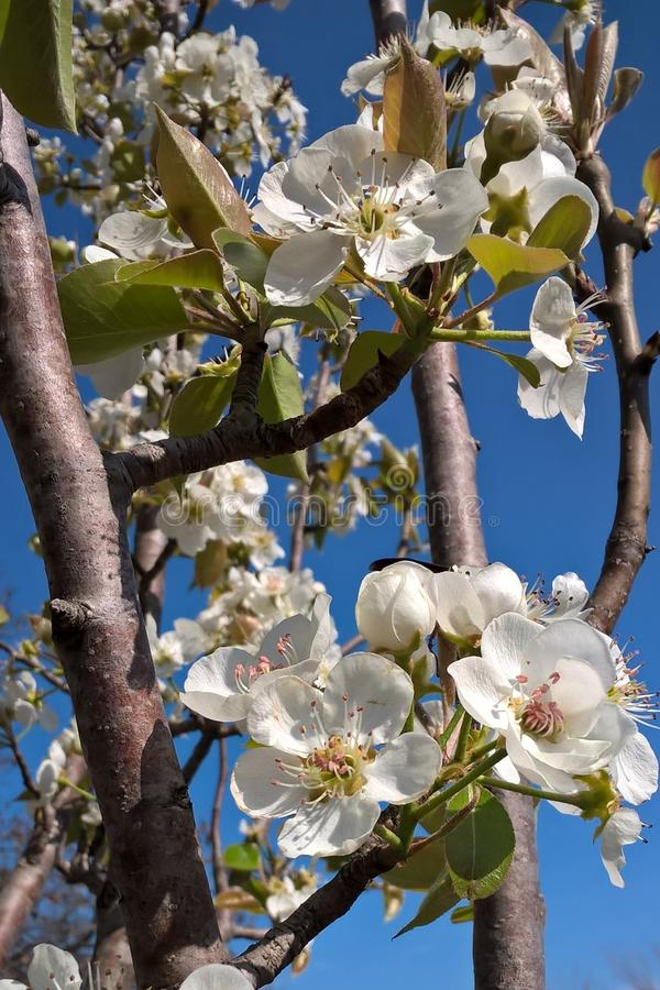 Oklahoma Pear Blossoms. Stratford Oklahoma is famous for it`s fruit trees. The pear trees produce beautiful, white blossoms that bloom early in the spring. Pear stock photo