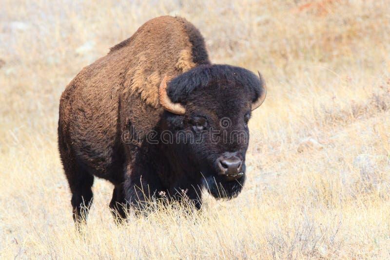 Oklahoma plains buffalo. In fall stock photo