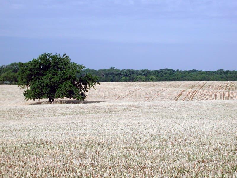 oklahoma wheatfield royaltyfria bilder