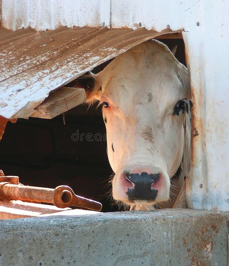 Download Okno krowy zdjęcie stock. Obraz złożonej z okno, niak, bovine - 49428