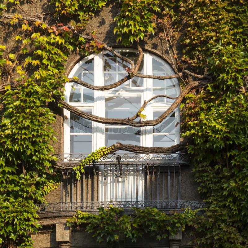 Okno przerastający bujny zieleni bluszczem fotografia royalty free