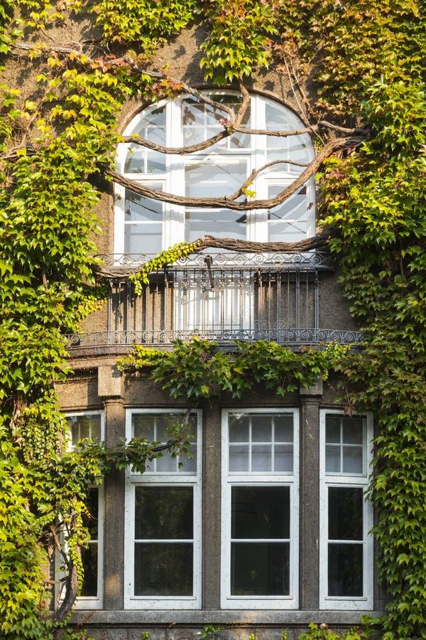 Okno przerastający bujny zieleni bluszczem zdjęcie royalty free