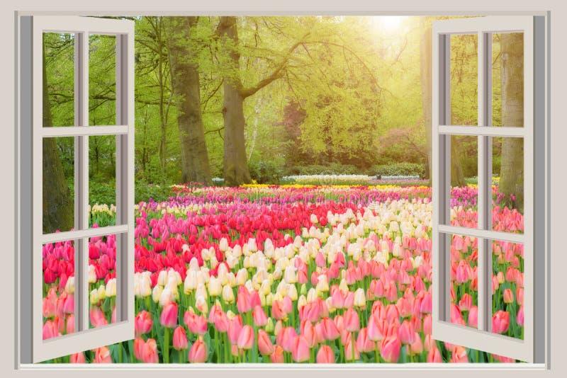 Okno z pięknym wiosna tulipanów kwiatów ogródem w Netherland obrazy stock