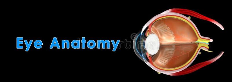 Oko anatomia obraz royalty free
