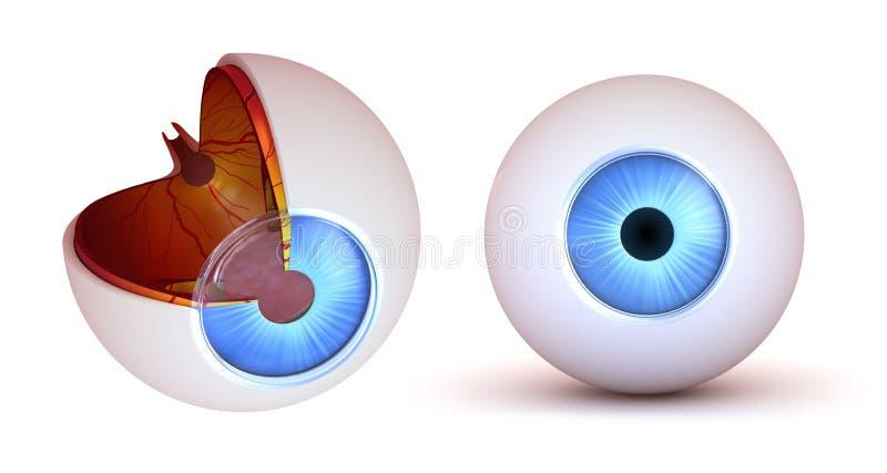Oko anatomia - wewnętrzna struktura i frontowy widok ilustracja wektor