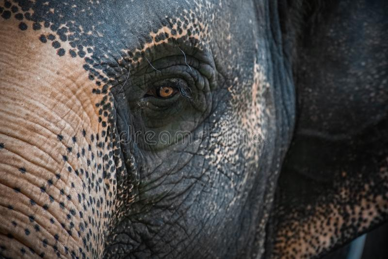 Oko Azjatyckiego słonia elephas maximus Zamyka w górę widok obraz royalty free