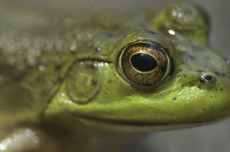 oko byka żaba zdjęcia stock