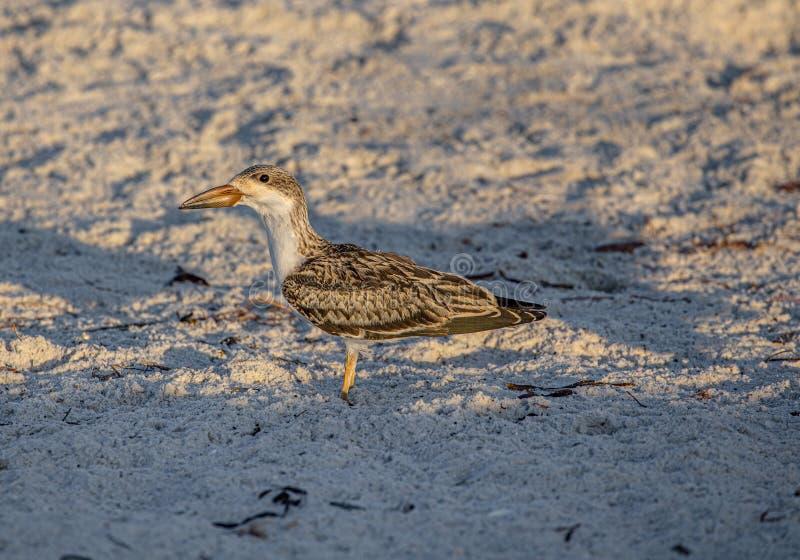 Oko Cedzakowy kurczątko na Indiańskiej skały plaży, Floryda zdjęcie stock
