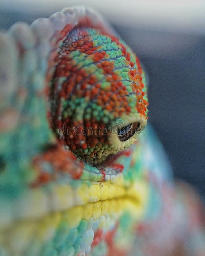 Oko kameleon obraz royalty free