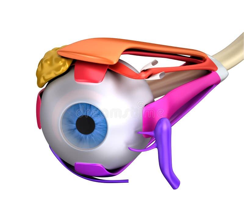 Oko mięśni Ludzka anatomia - przekrój poprzeczny odizolowywający na bielu ilustracja wektor