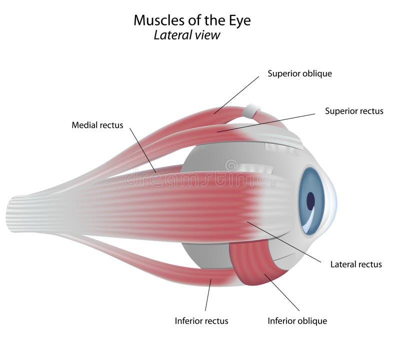 oko mięśnie ilustracja wektor