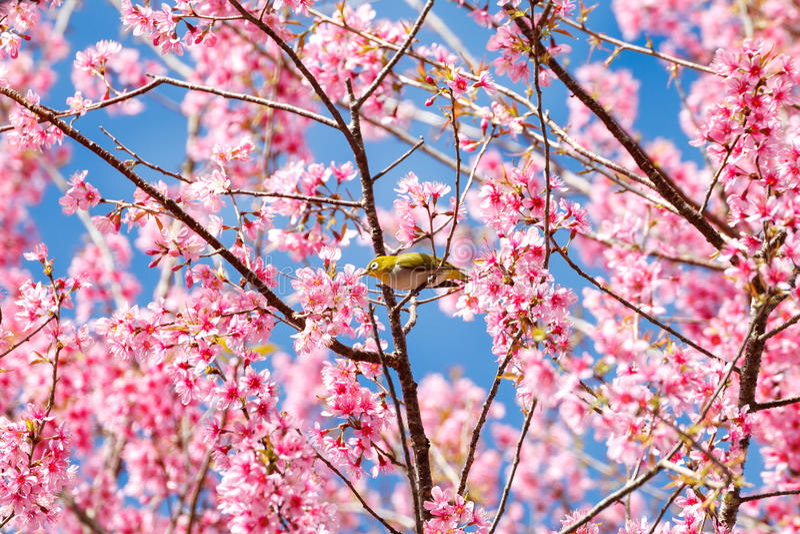 Oko ptak na czereśniowym okwitnięciu i Sakura fotografia stock