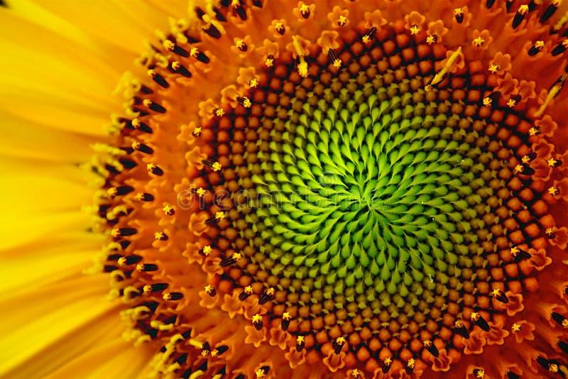 oko słonecznik zdjęcie royalty free