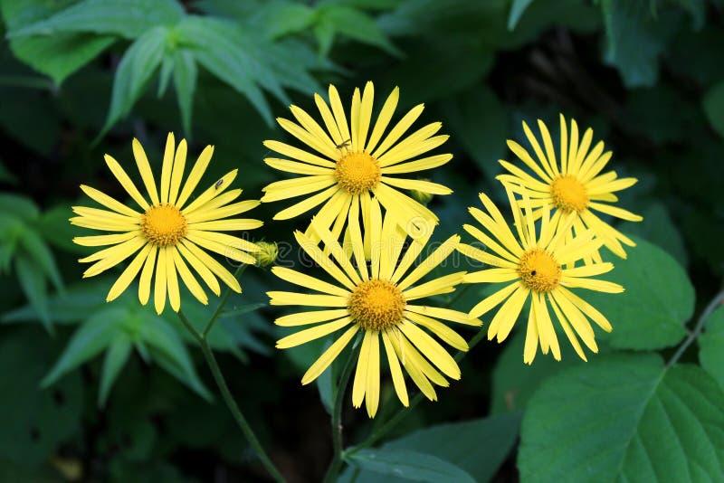 Oko stokrotka lub Buphthalmum roślina z kwiatami składa się jaskrawych koloru żółtego przesmyka płatki otaczających z gęstymi cie zdjęcia royalty free