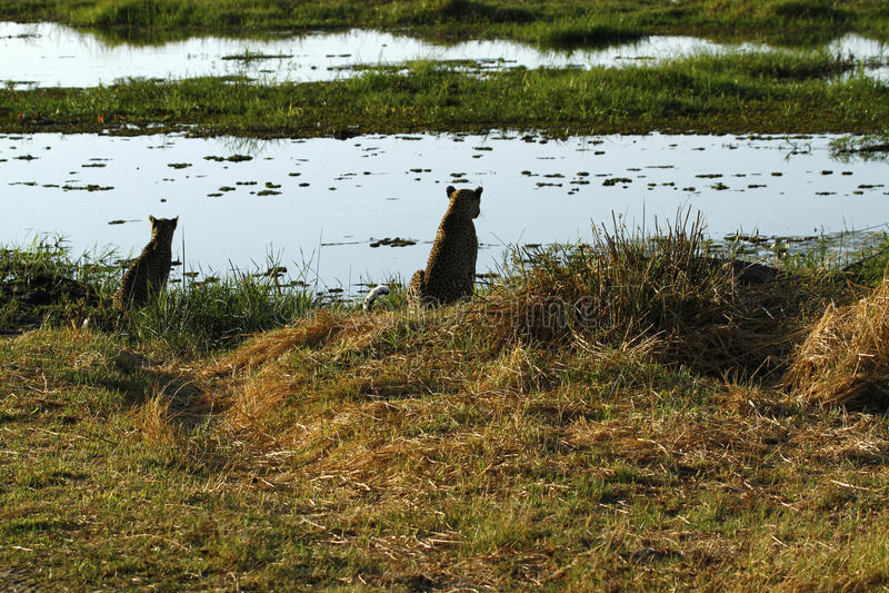 Okovango三角洲豹子& Cub 免版税库存图片