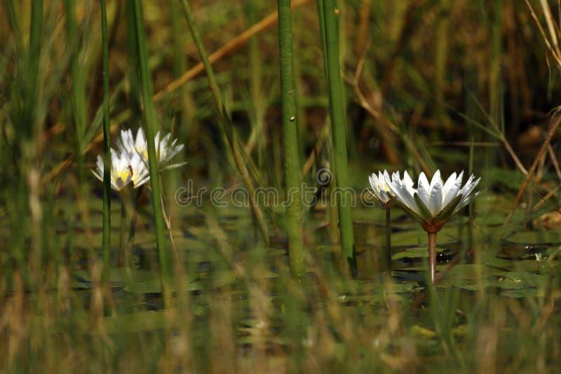 Okovango delty Wodne leluje zdjęcie royalty free