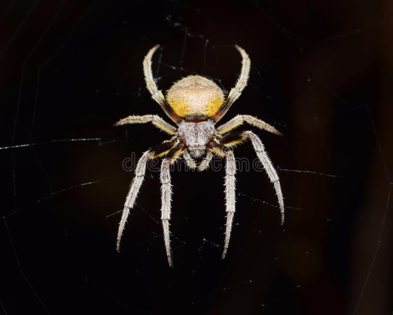 Okręgu tkacza pająk na czarnym tle obrazy royalty free