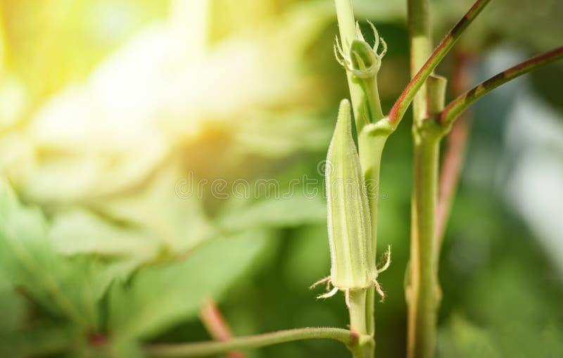 Okra εγκαταστάσεις φρούτων/φρέσκο πράσινο okra στο δέντρο στον κήπο φύσης στοκ εικόνες με δικαίωμα ελεύθερης χρήσης