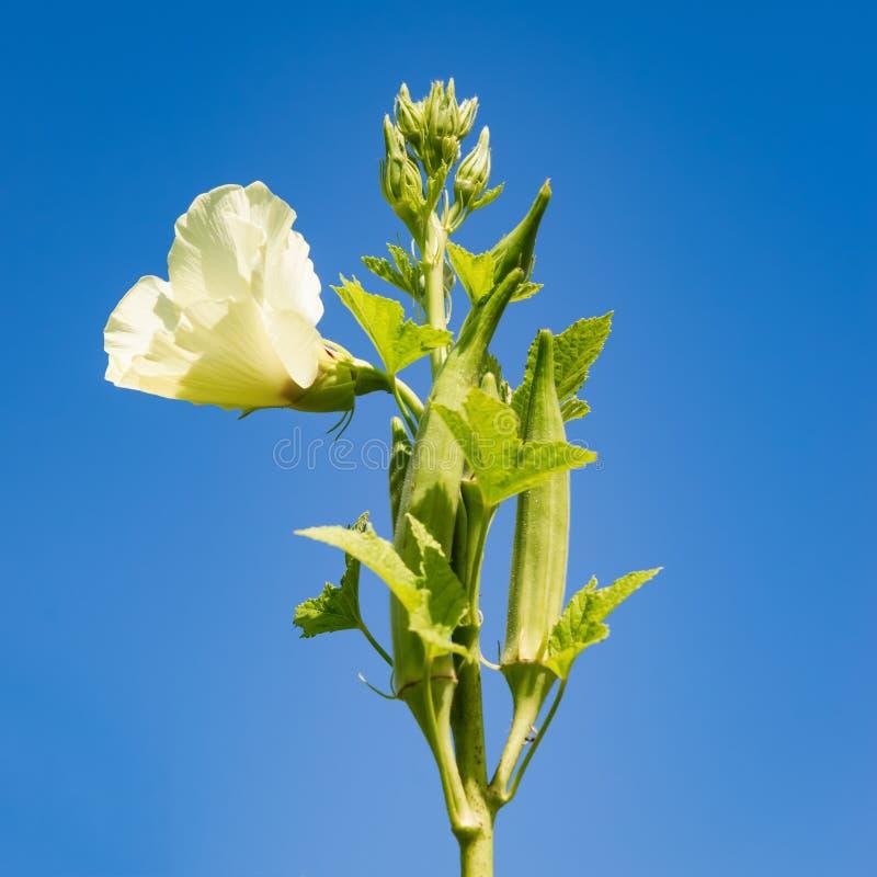 Okra kwiat w kwiacie przeciw niebieskie niebo produkt spożywczy organicznie rolnictwu i roślina obciosujemy skład obrazy stock