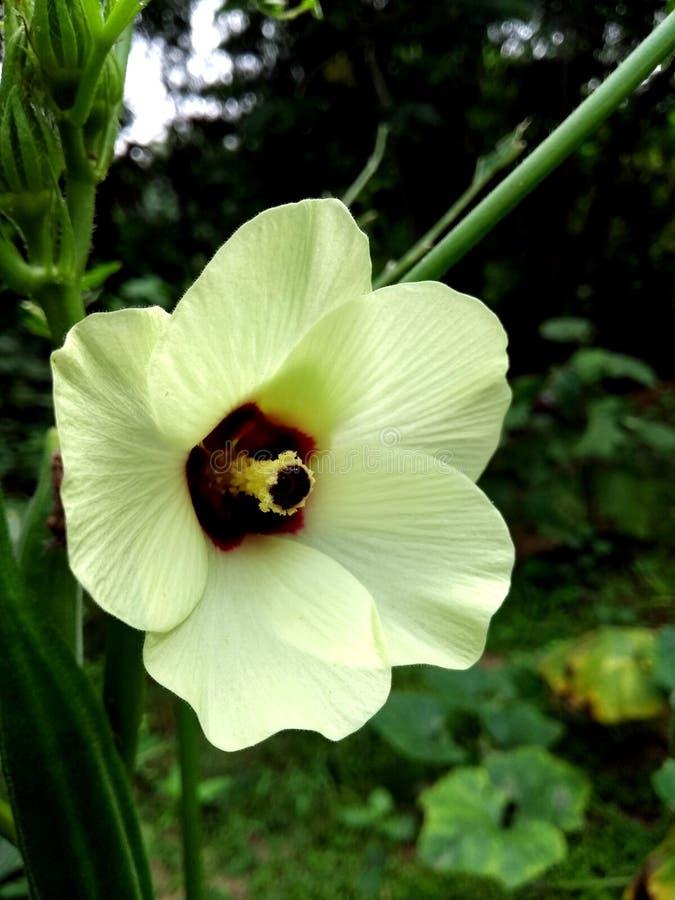Okra lub damy dotykamy żółtego kwiatu obrazy stock