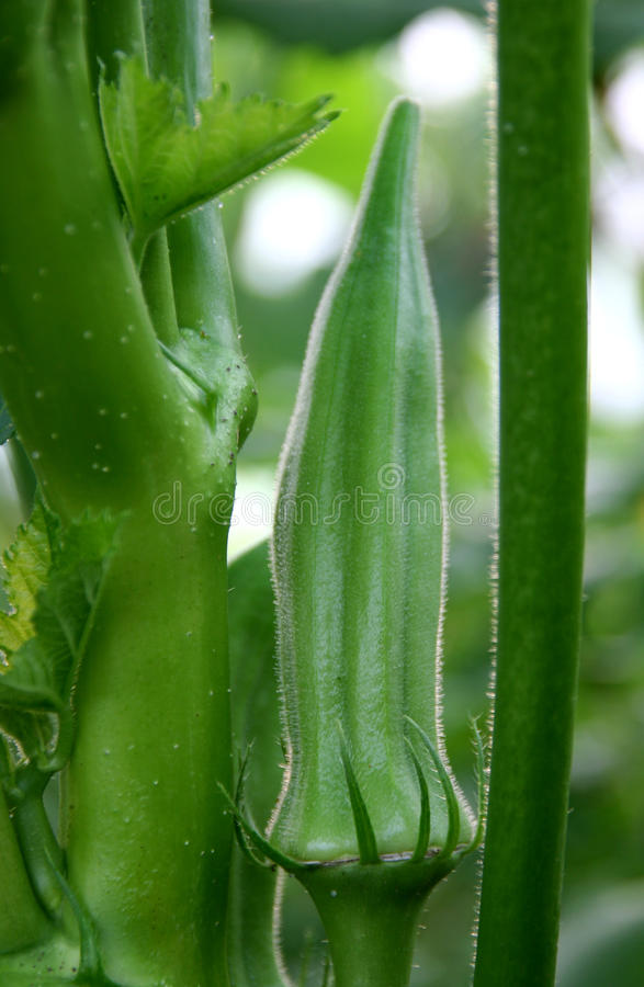 Okra plant stock photography