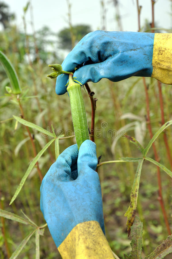 Download Okra plant stock photo. Image of ladies, dirty, leaf - 16924616