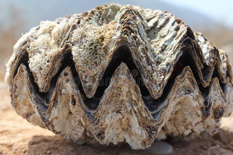 Okropne szczęki gigantyczny morski mollusk, kłamstwo na plaży zdjęcie stock