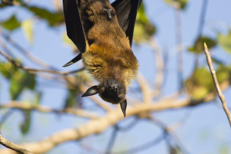 Okropny latający lis obraz royalty free
